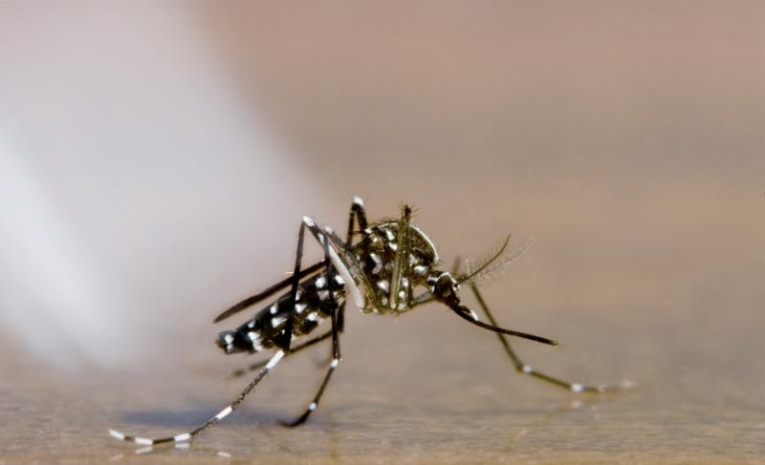 Yellow Fever Mosquito Found in Los Angeles County