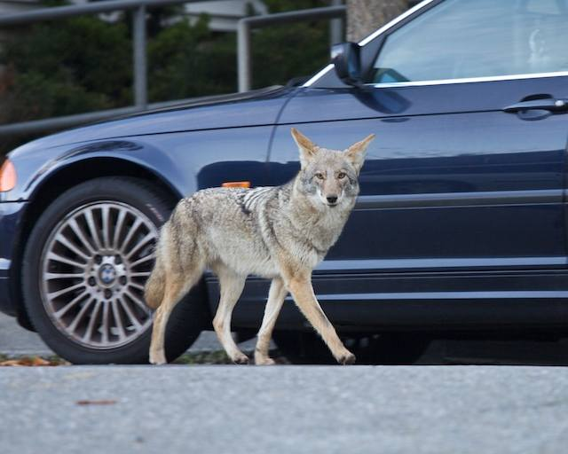 coyote-and-car