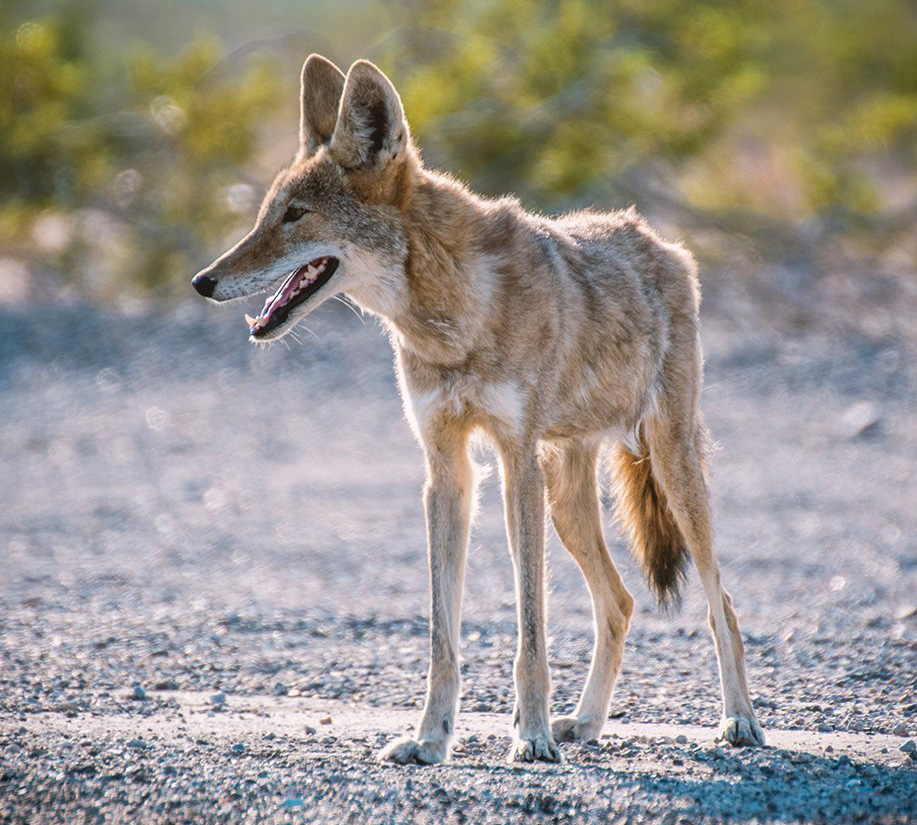 coyote_news